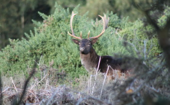 Stag looking at me