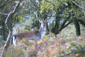 Young stag looking at me